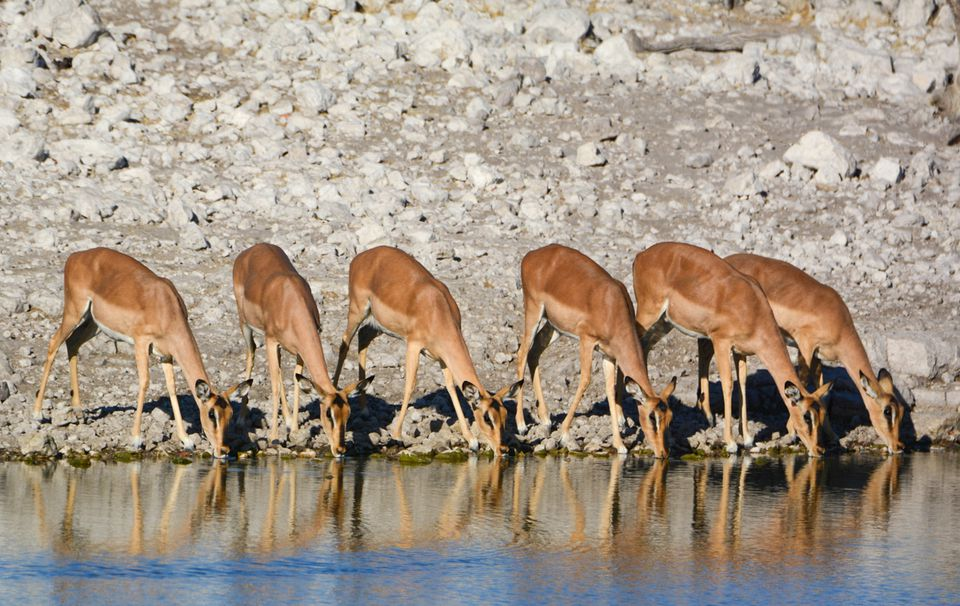 A heard of gazelle drinking water in Etosha