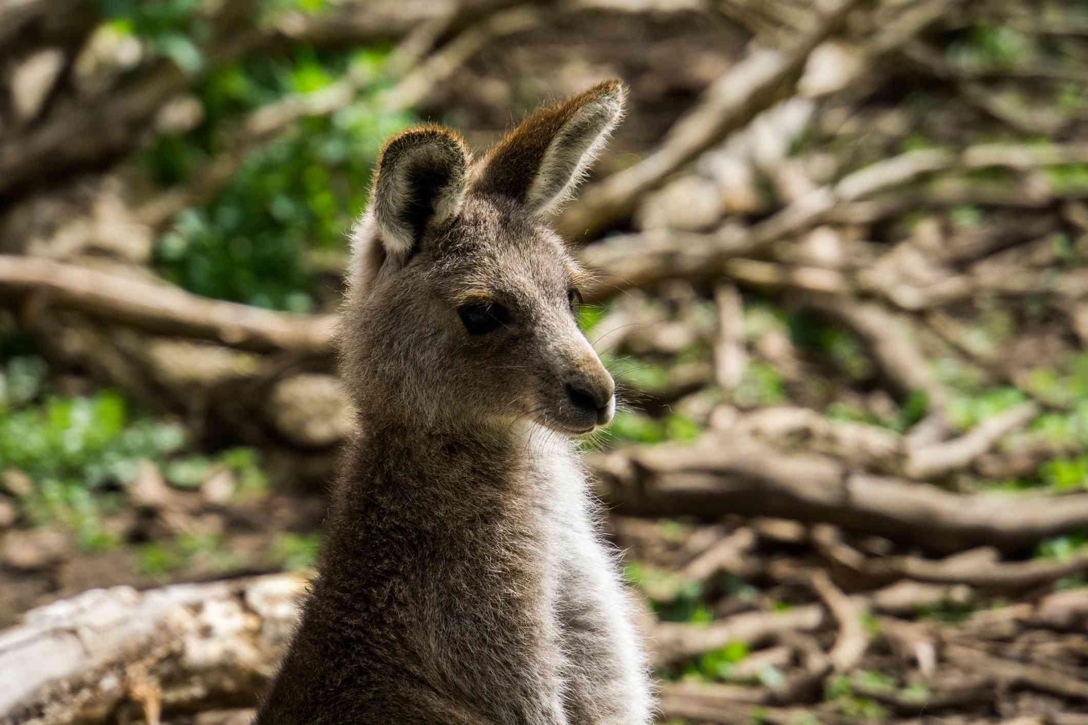 Kangoroo se ve a la derecha