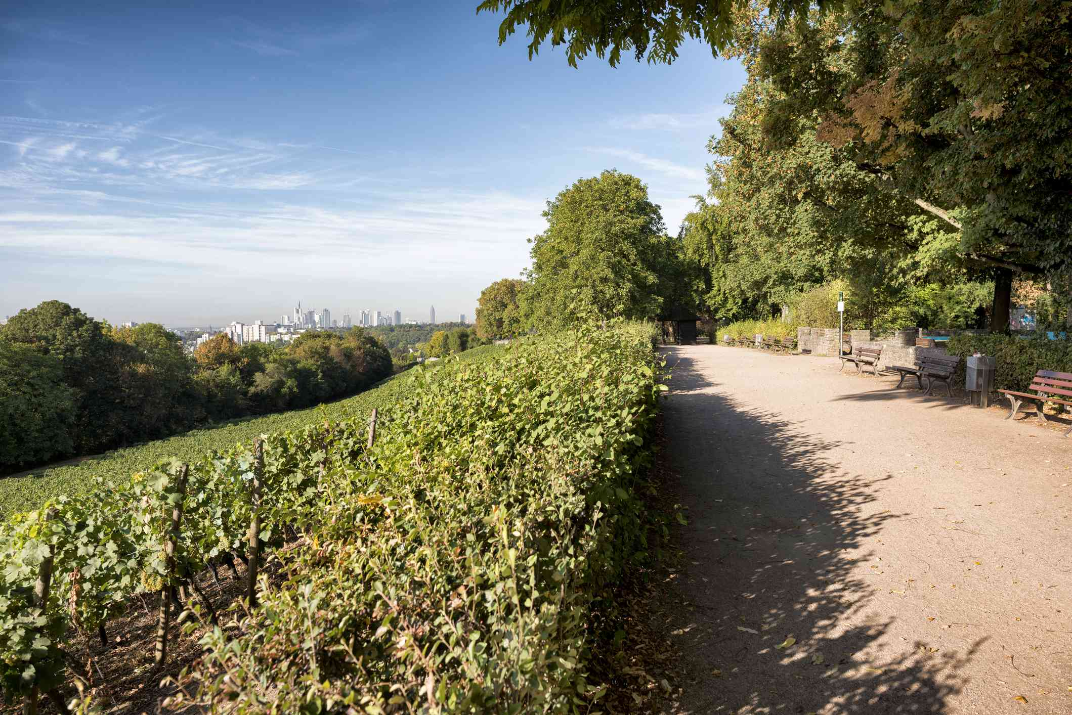 image with grapevines and a distant city skyline to the left and a wide park path to the right