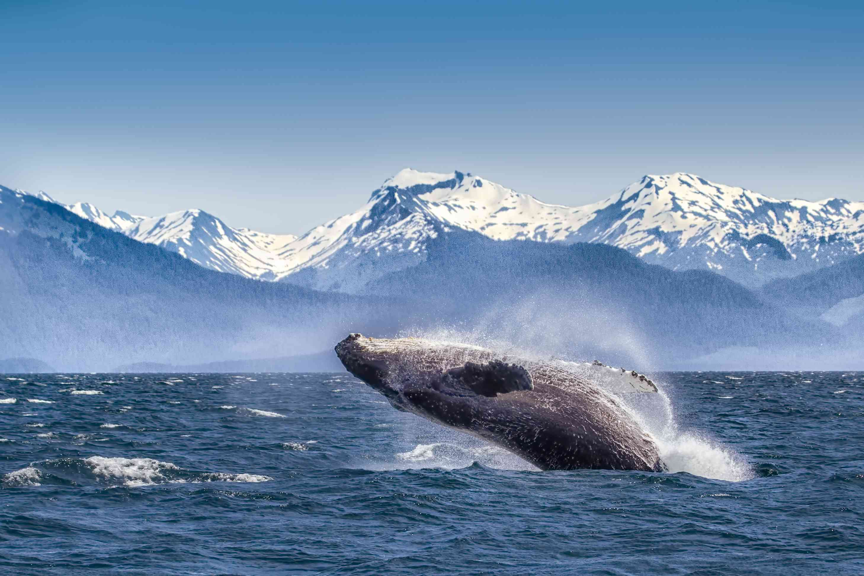 whale breaching with snow covered mountains in the background