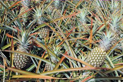 A pineapple farm in Maui