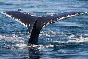 whale tail off the coast of Virginia Beach