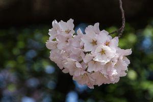Cheryy_Blossoms_2014-31.jpg