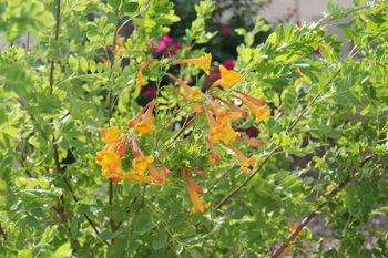 Yellow bells an easy plant for desert landscaping orange bells mightylinksfo