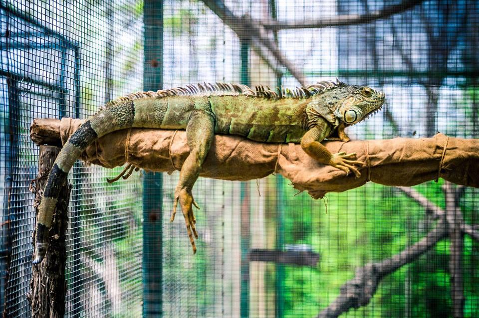 Iguana en el zoológico de Austin
