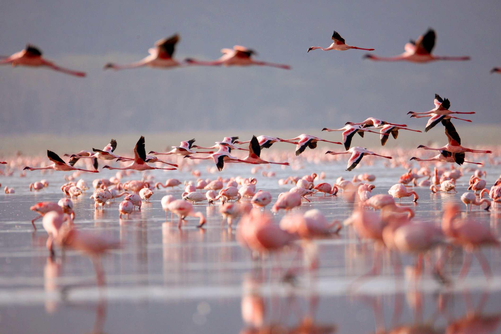 Flamingoes on Lake Nakuru, Kenya