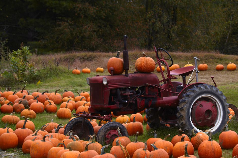 Calabazas alrededor de un viejo tractor