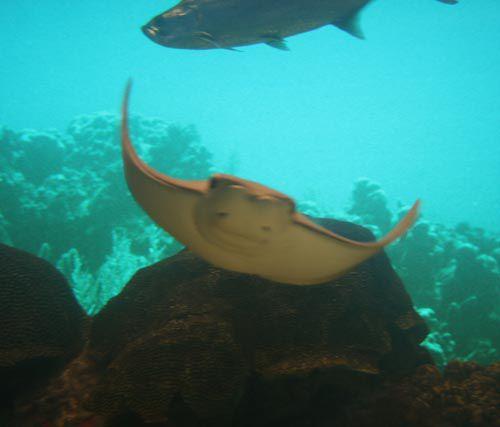 Stingray en el acuario estatal de Texas