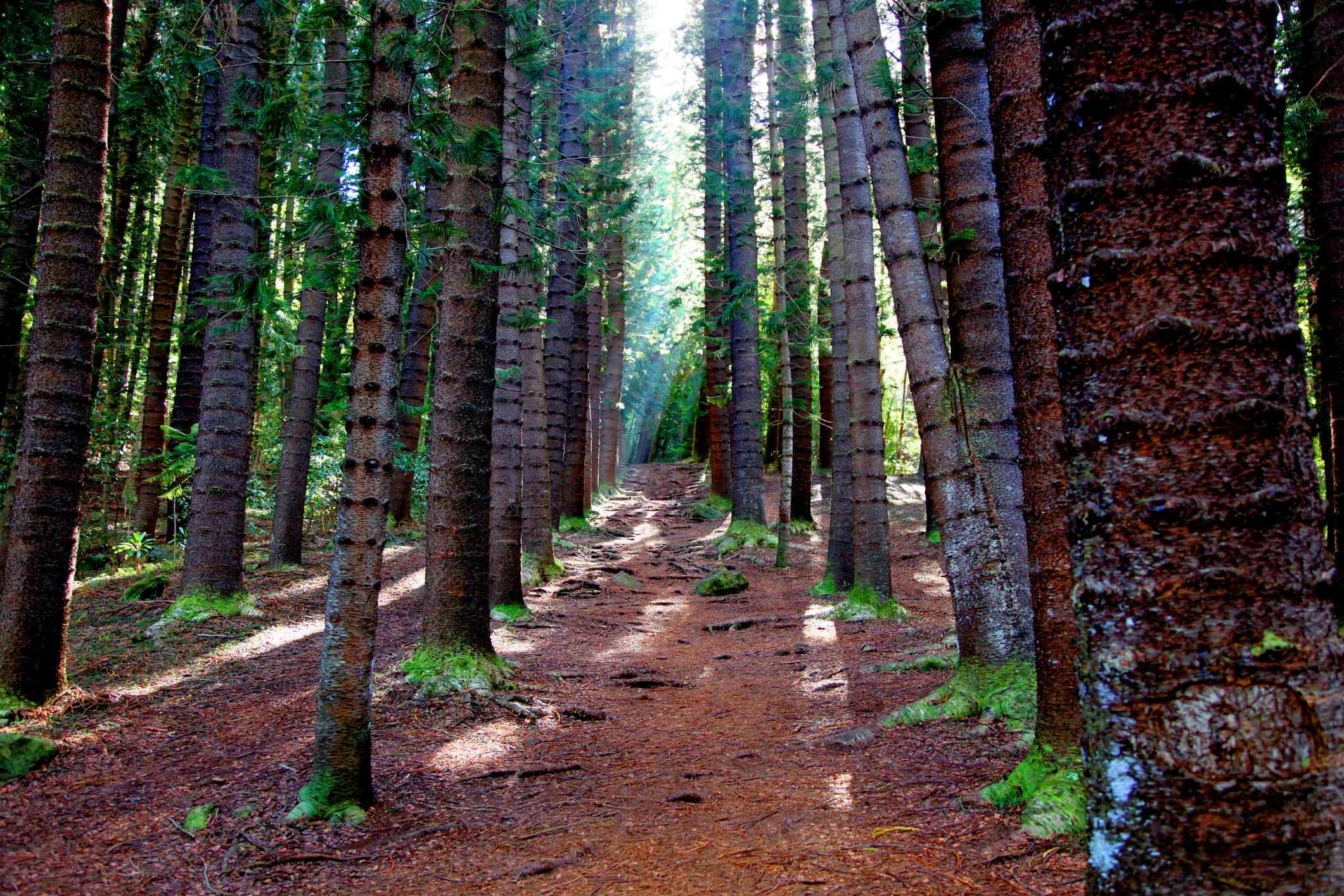 Pine forest on Sleeping Giant trail in Kauai Hawaii