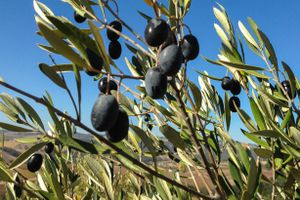 Time for New Olive Oil at Kiler Ridge Near Paso Robles