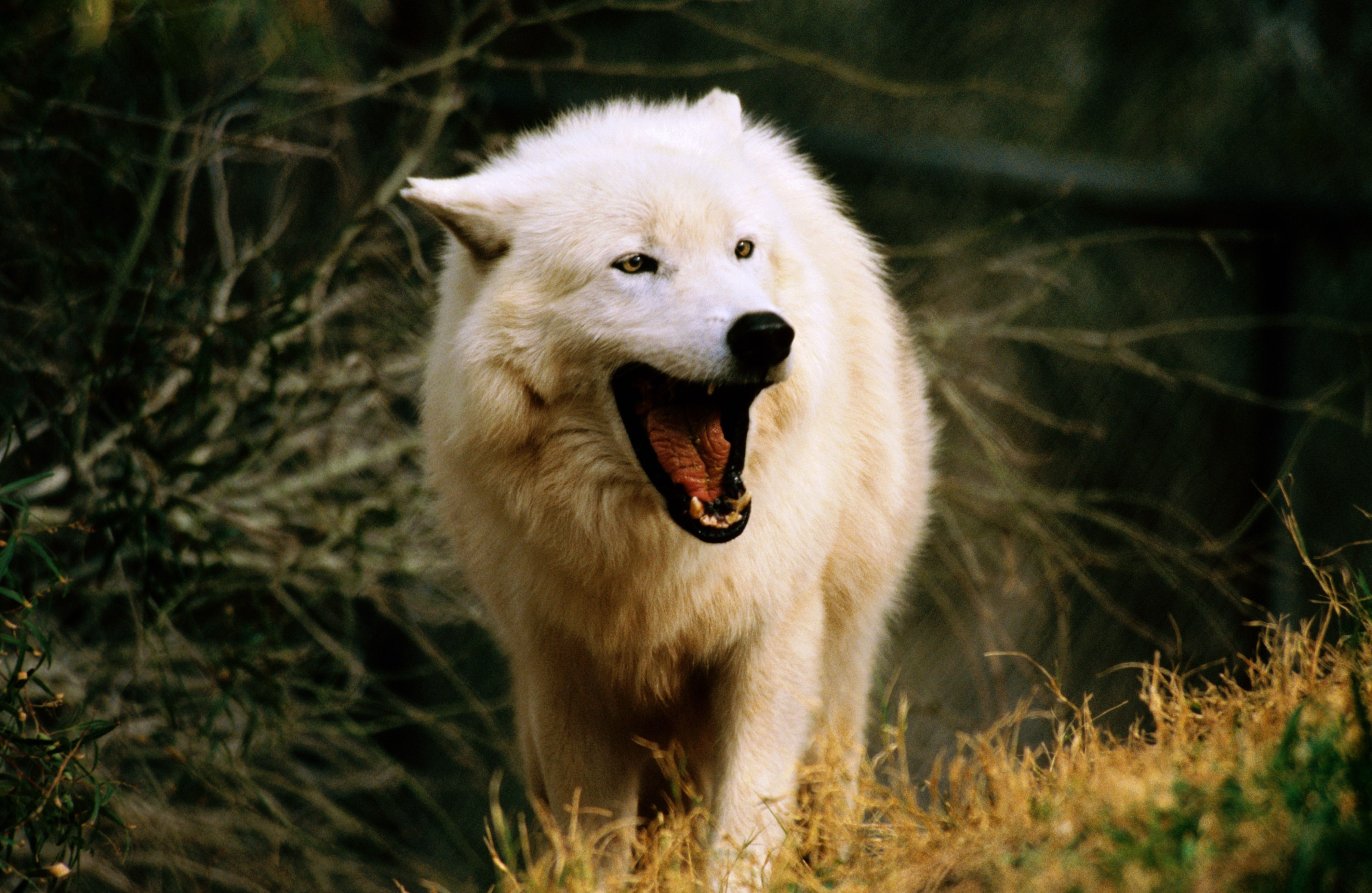 White wolf (Canis lupus) yawning, Out of Africa zoo.