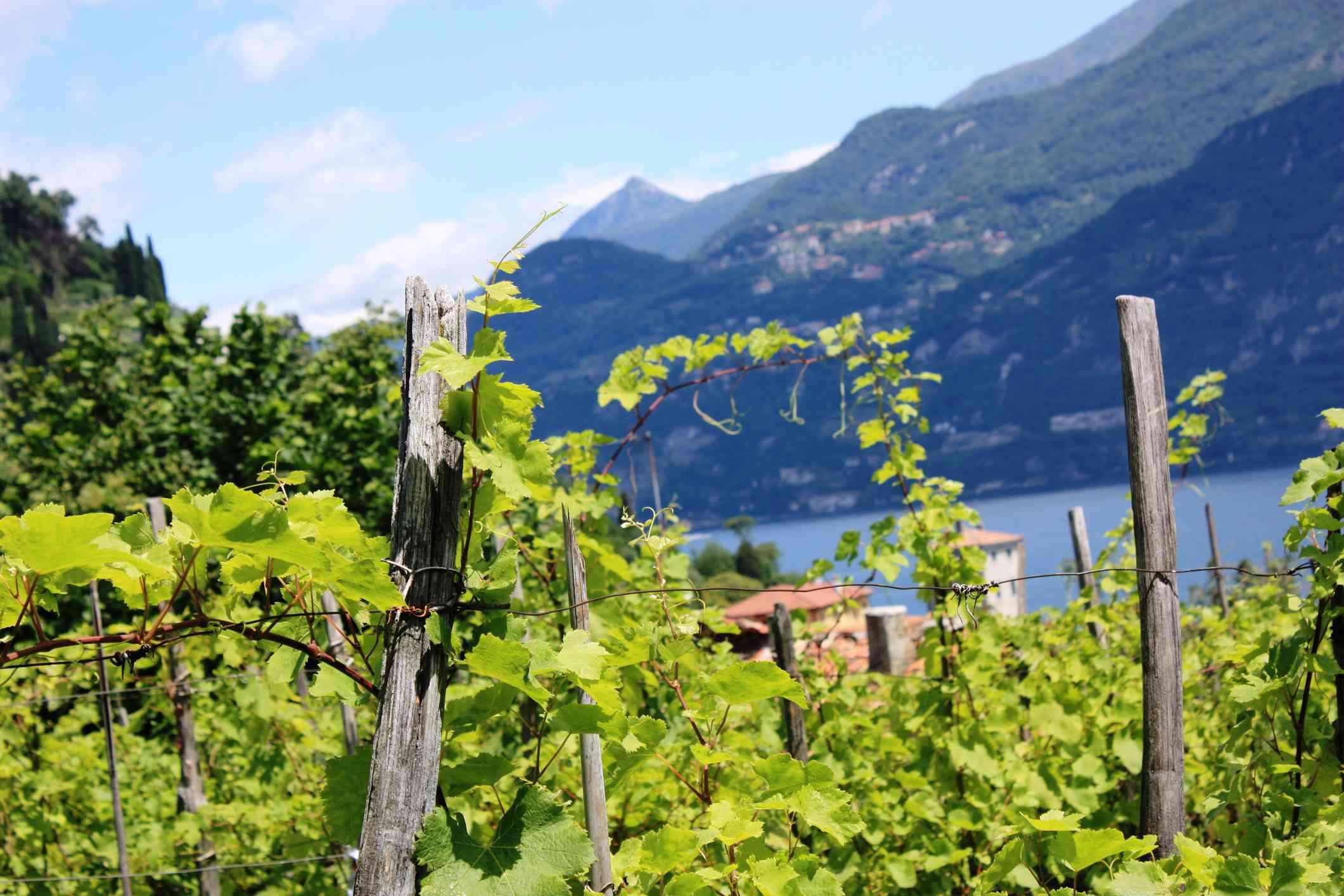 Vineyard at Bellagio on Lake Como