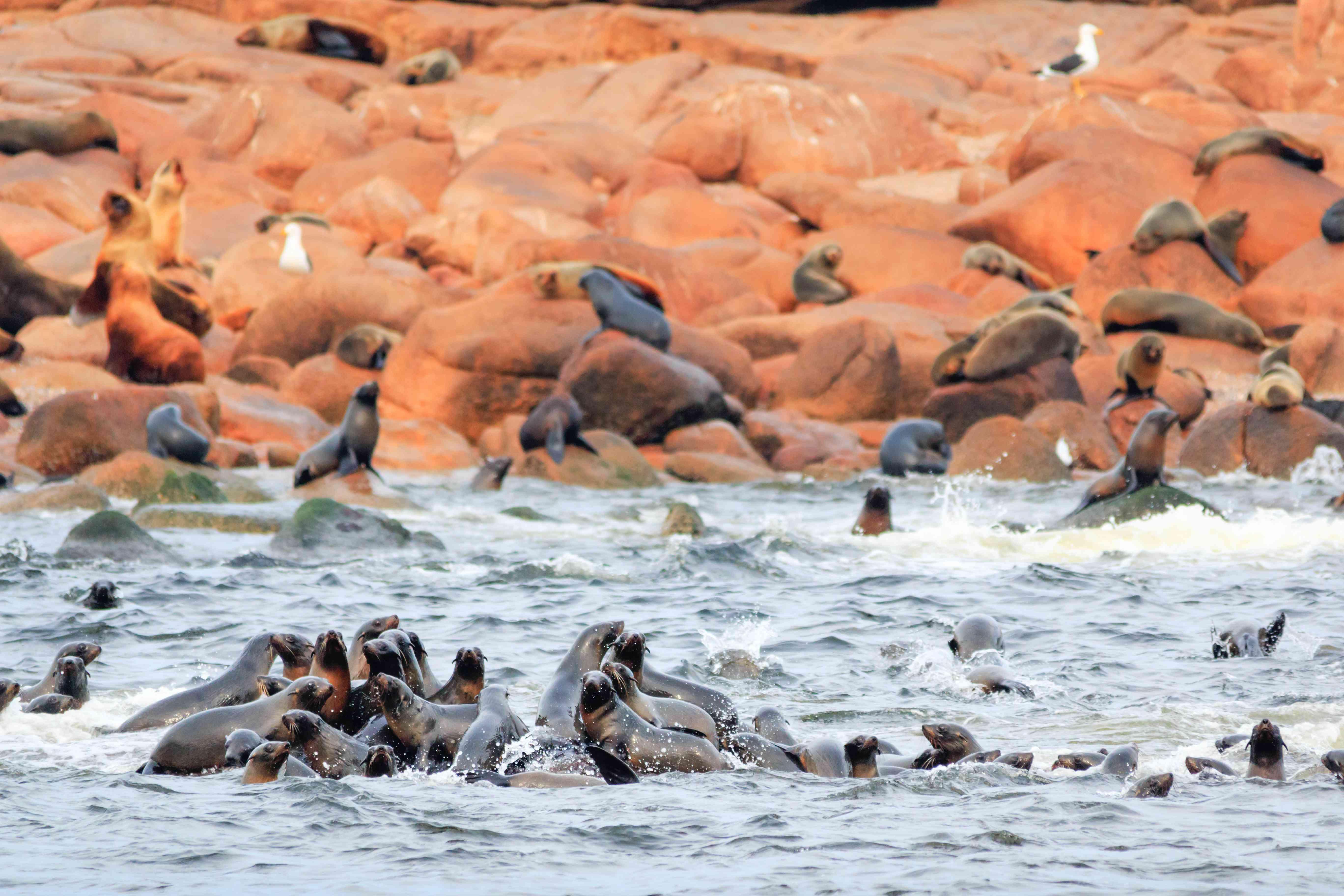 Sea lions in Isla de Lobos, Punta del Este, Uruguay