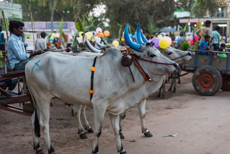 Mattu Pongal, Worshipping the Cows