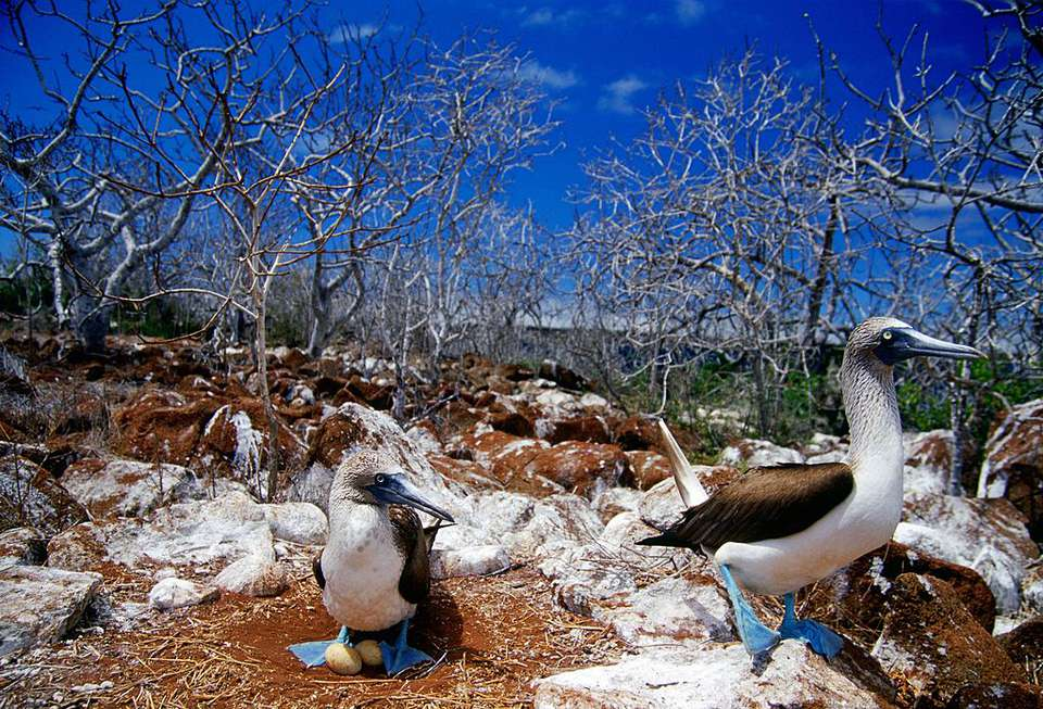 Blue-Footed Booby Birds, Galapagos Isles