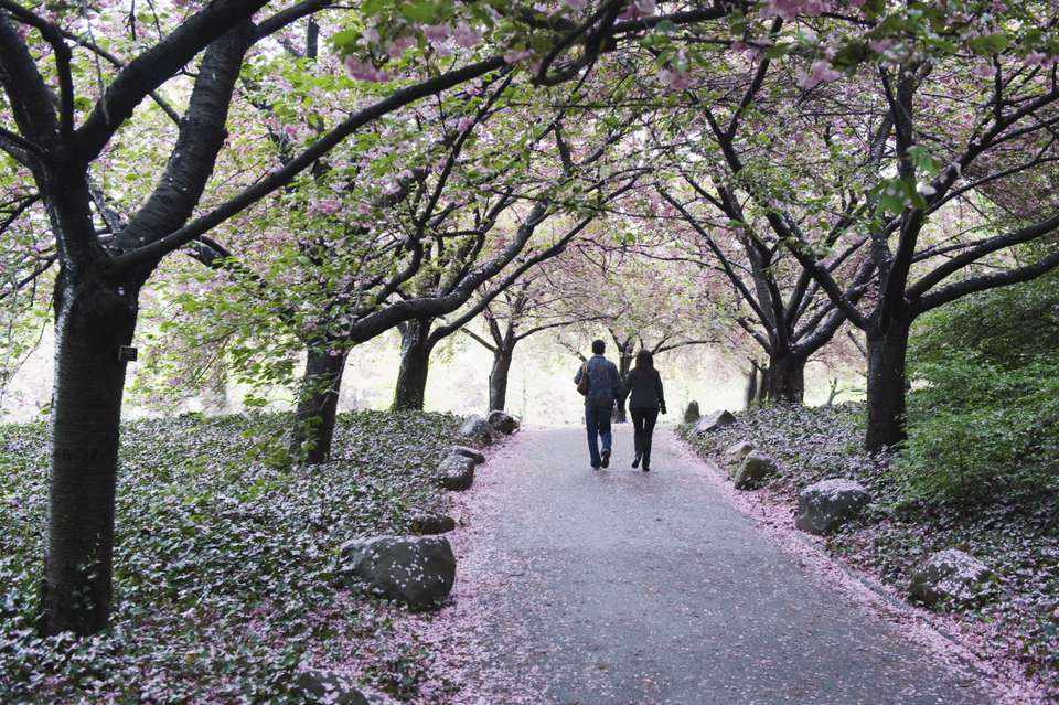 Cherry Blossoms at the Brooklyn Botanic Garden