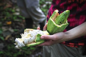 A Person Displays the Inside of a Cacoa Pod in Belize