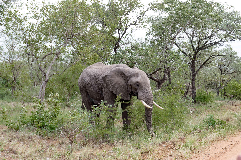 An elephant in Kruger National Park