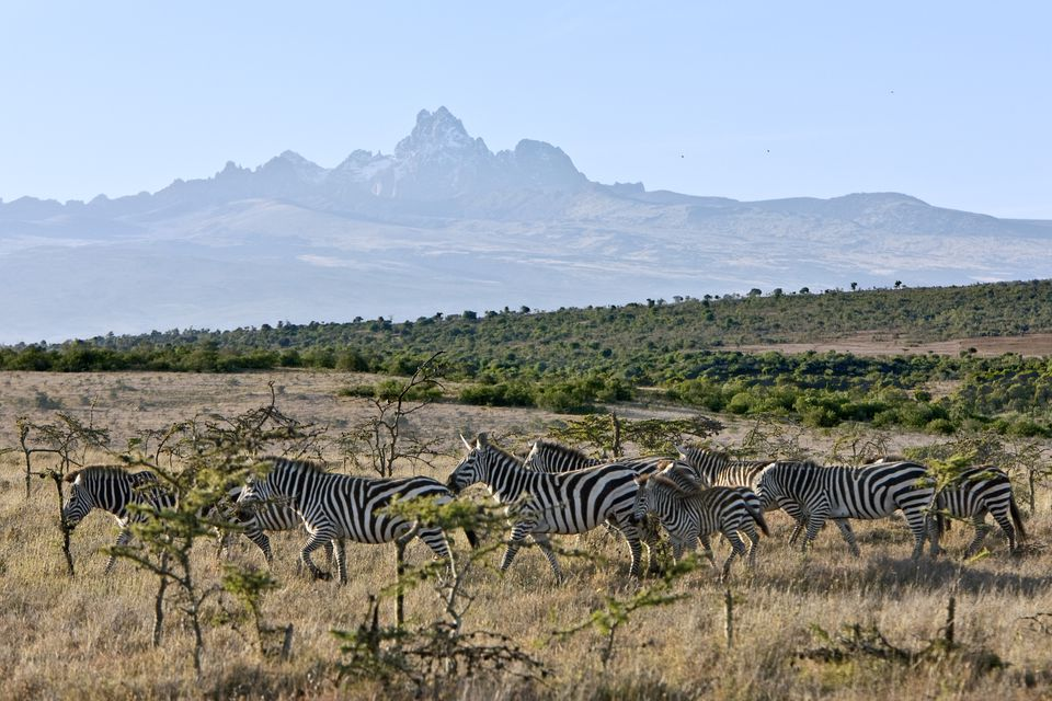 Herd of zebra in front of Mount Kenya