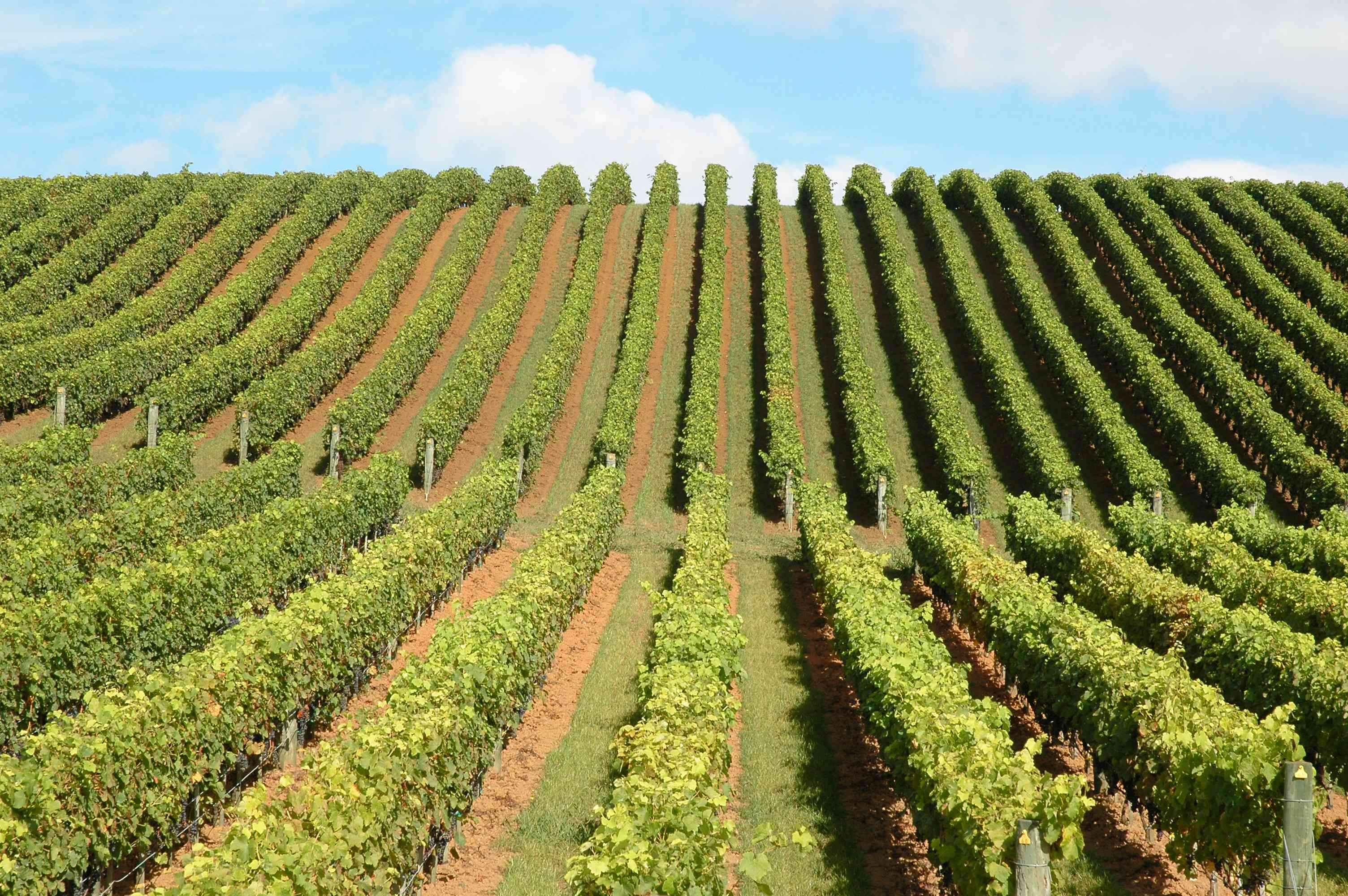 rows of grapevines in new zealand