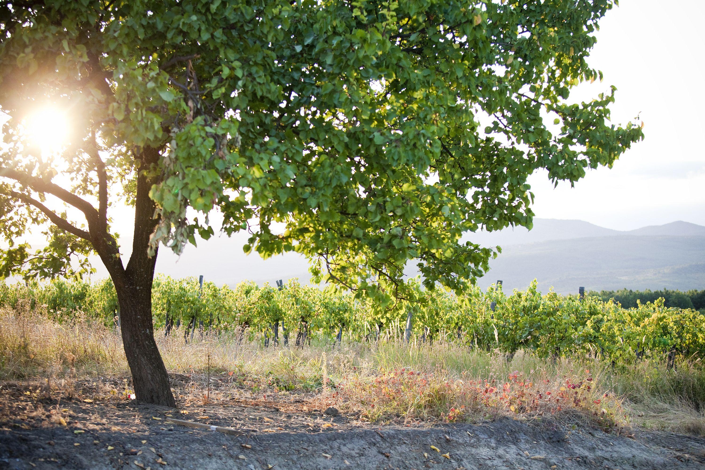 Tree on the vineyard