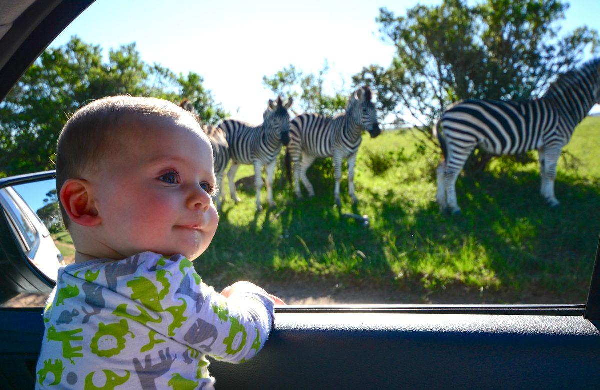 Toddler looking at a herd of zebra out of a car window