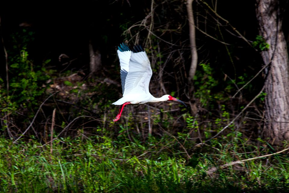 A white Ibis flying over a small pond near Houston, Texas