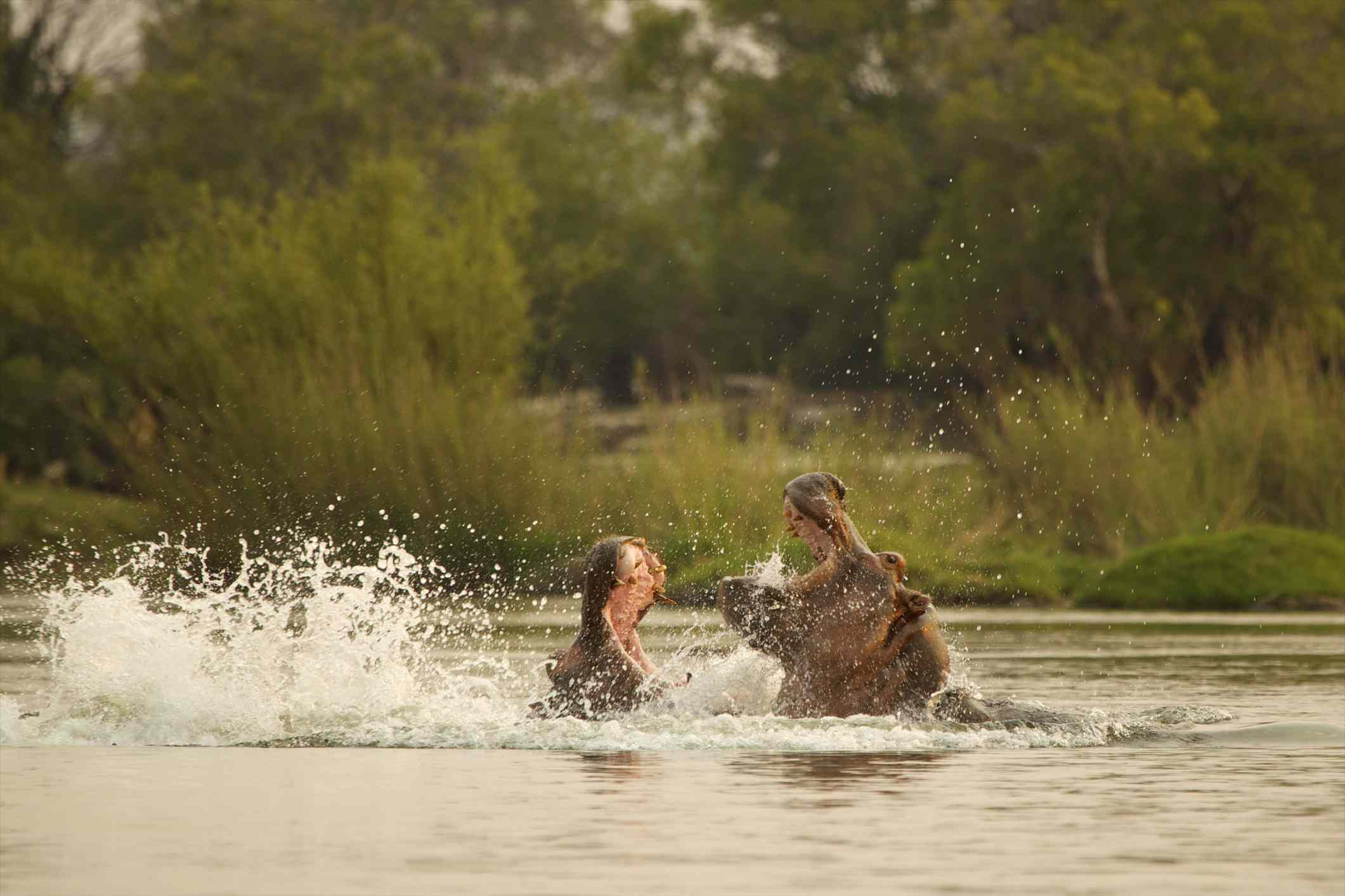 Fighting hippos, Mana Pools National Park