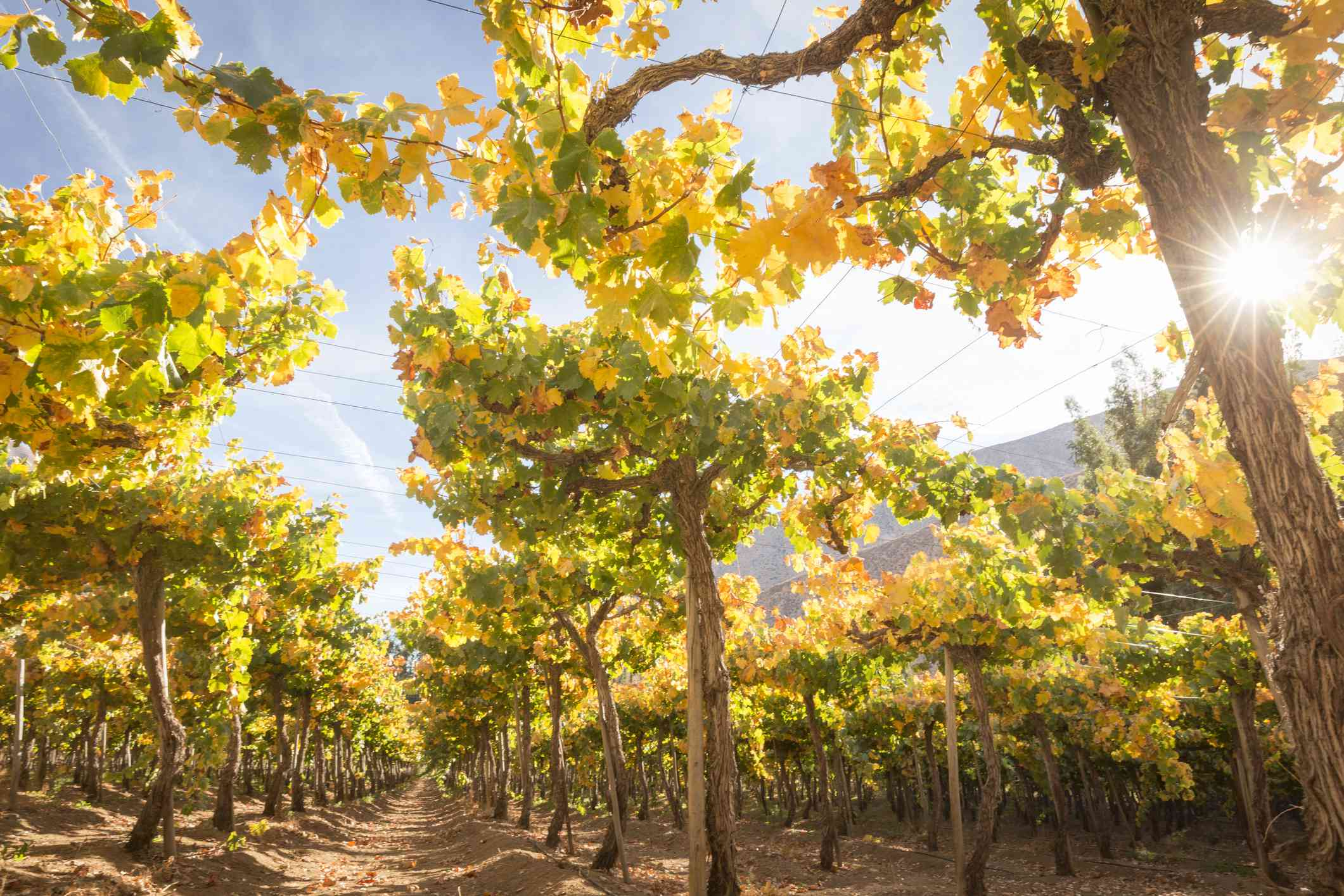 Pisco grapes in Elqui Valley, Chile