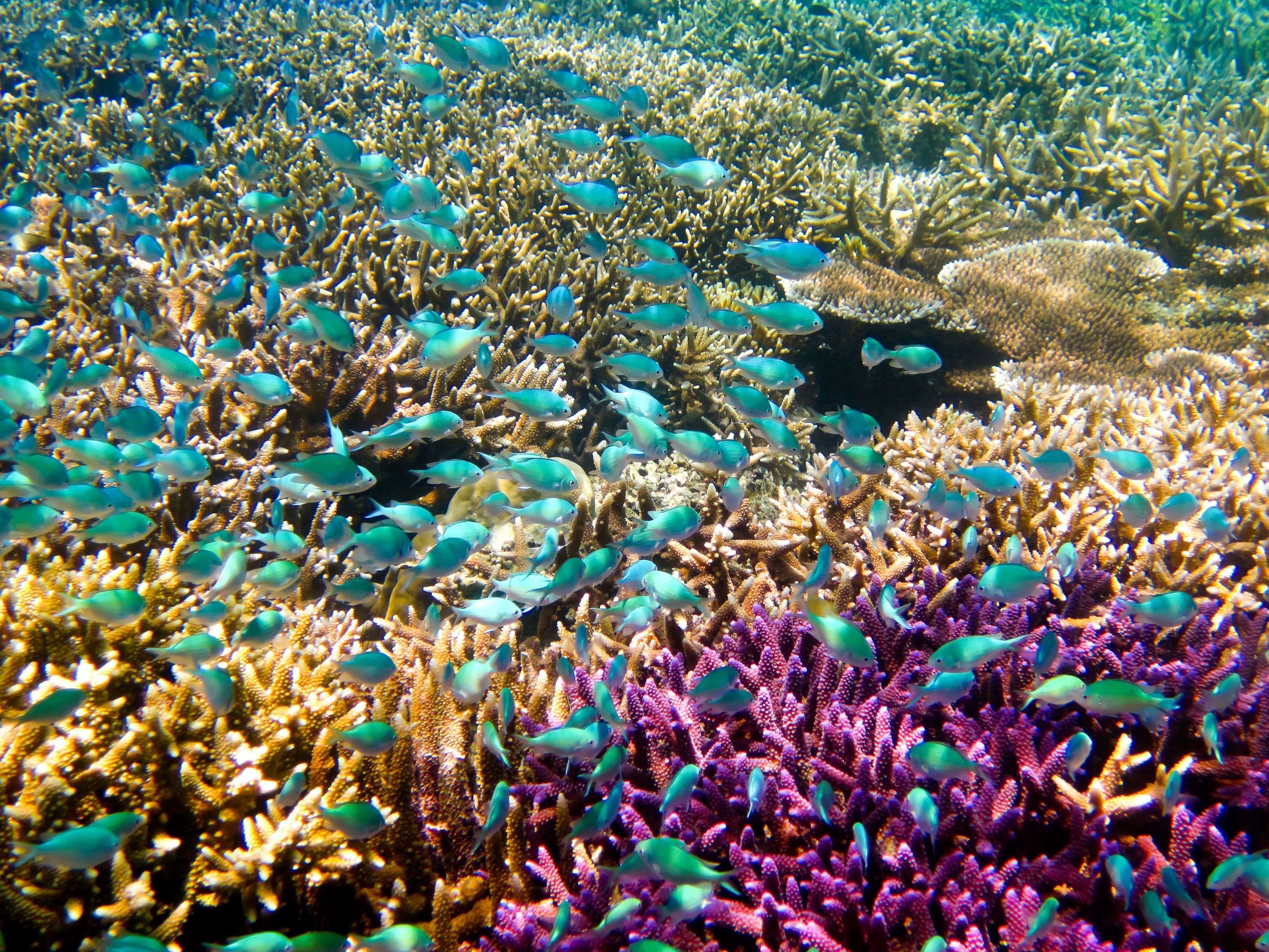 Colorido arrecife de coral con un banco de peces azules
