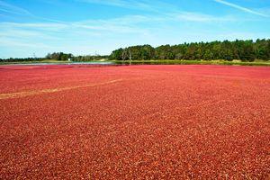 Cranberry Harvest Massachusetts
