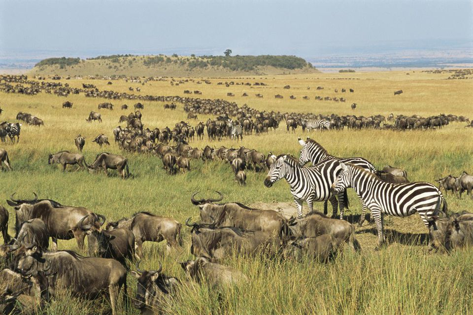 how to experience east africa s annual great migration