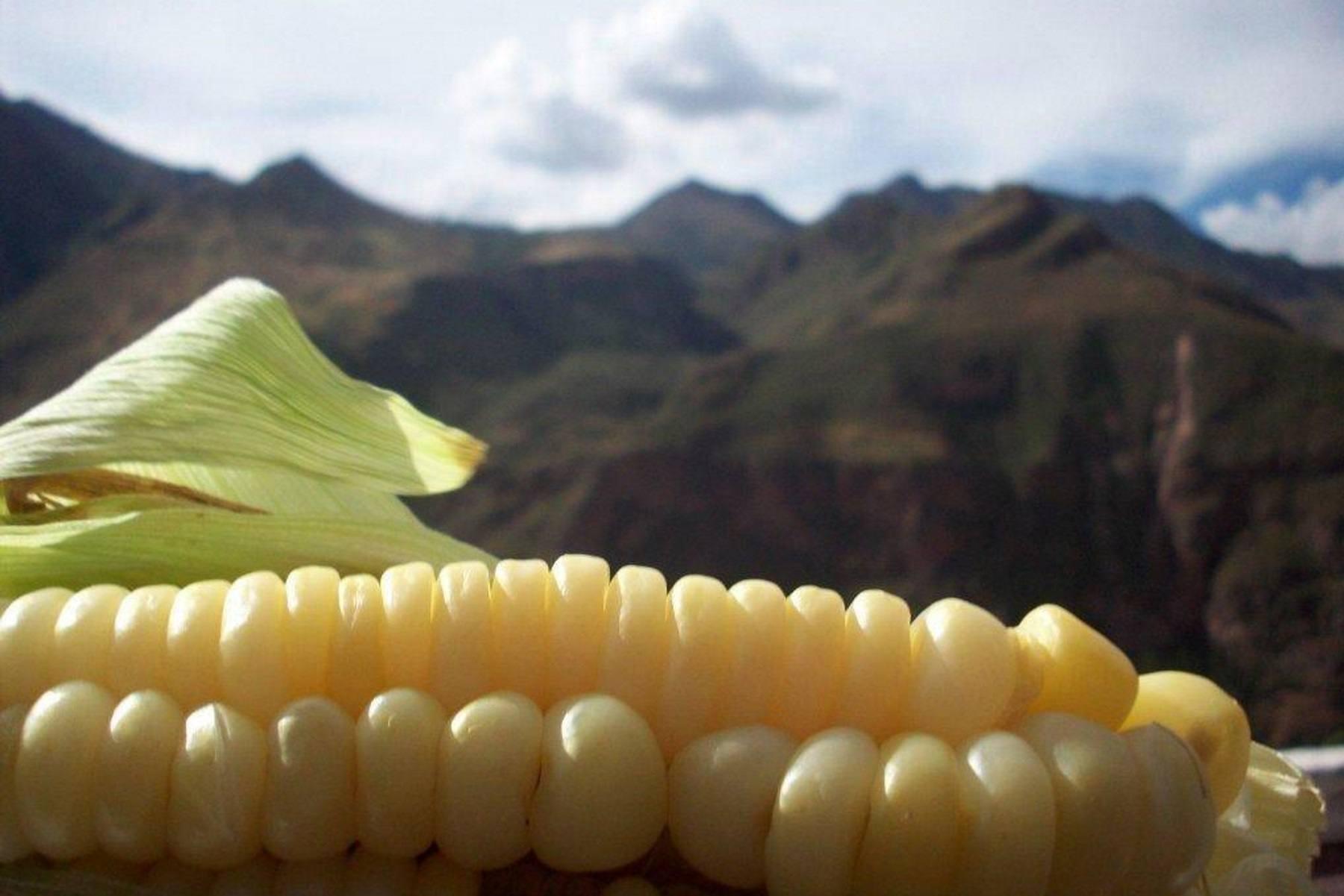 Peruvian choclo corn