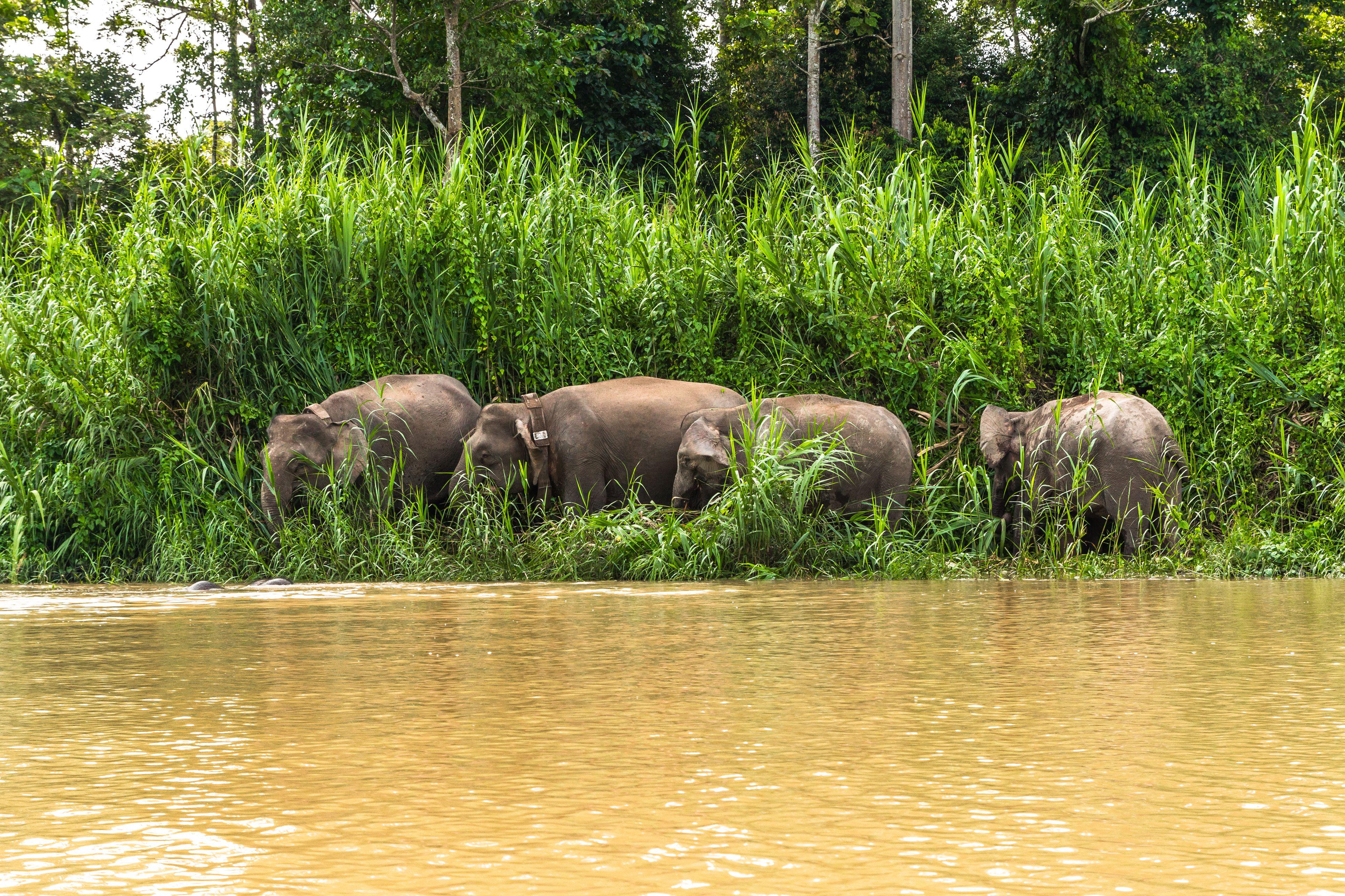 Manada de elefantes pigmeos de Borneo pastando en la orilla del río