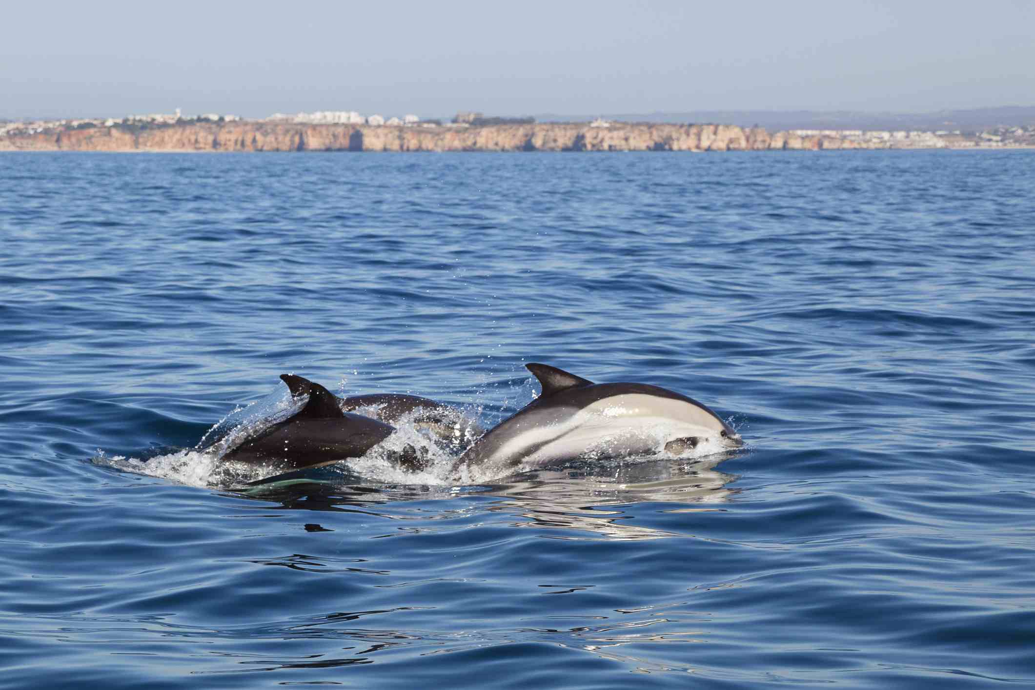 'Common Dolphins in the Atlantic Ocean off the Algarve Coast, Portugal'