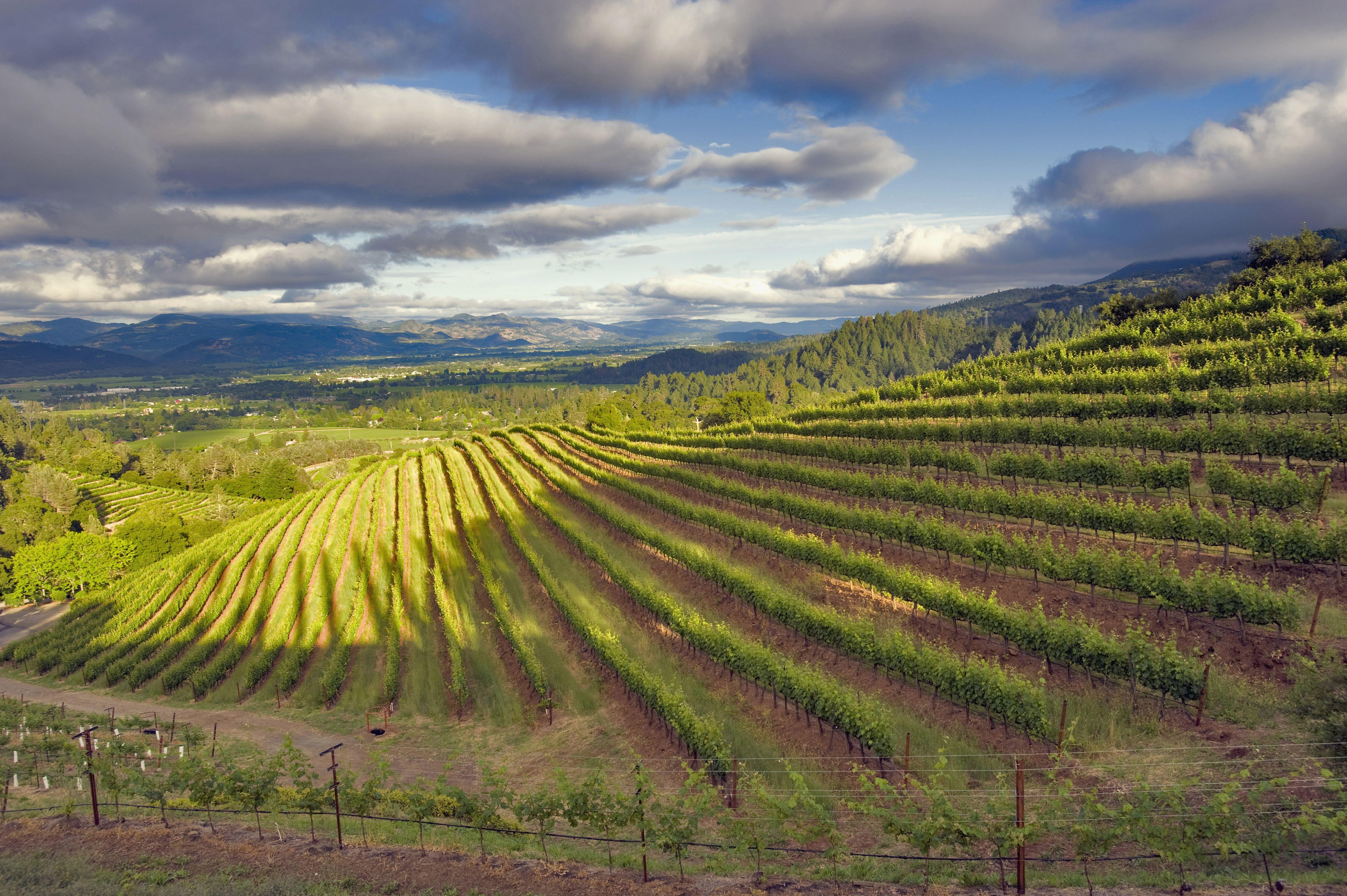 Viñedo. Valle de Napa. Condado de Napa, California, EE. UU.