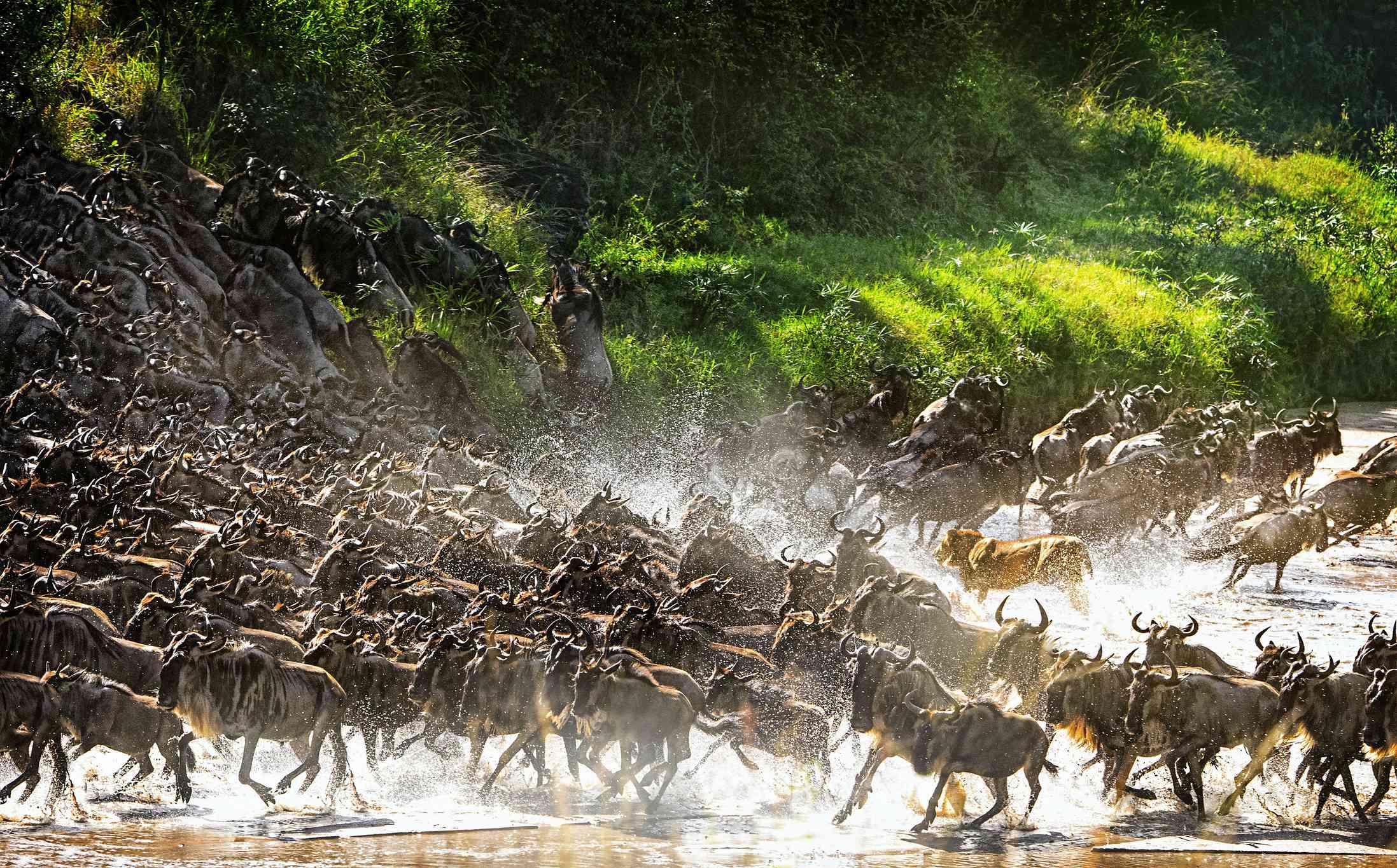 Lion chasing migrating wildebeest, Serengeti National Park