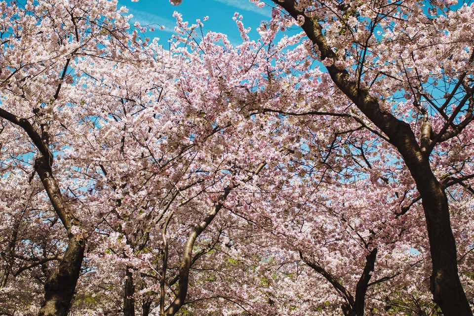 Pictures Of Cherry Blossom Trees In Bloom
