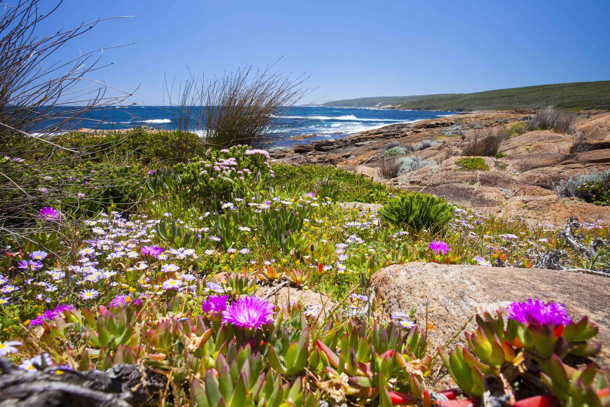 Wildflowers along coast of Cape Naturaliste, Western Australia