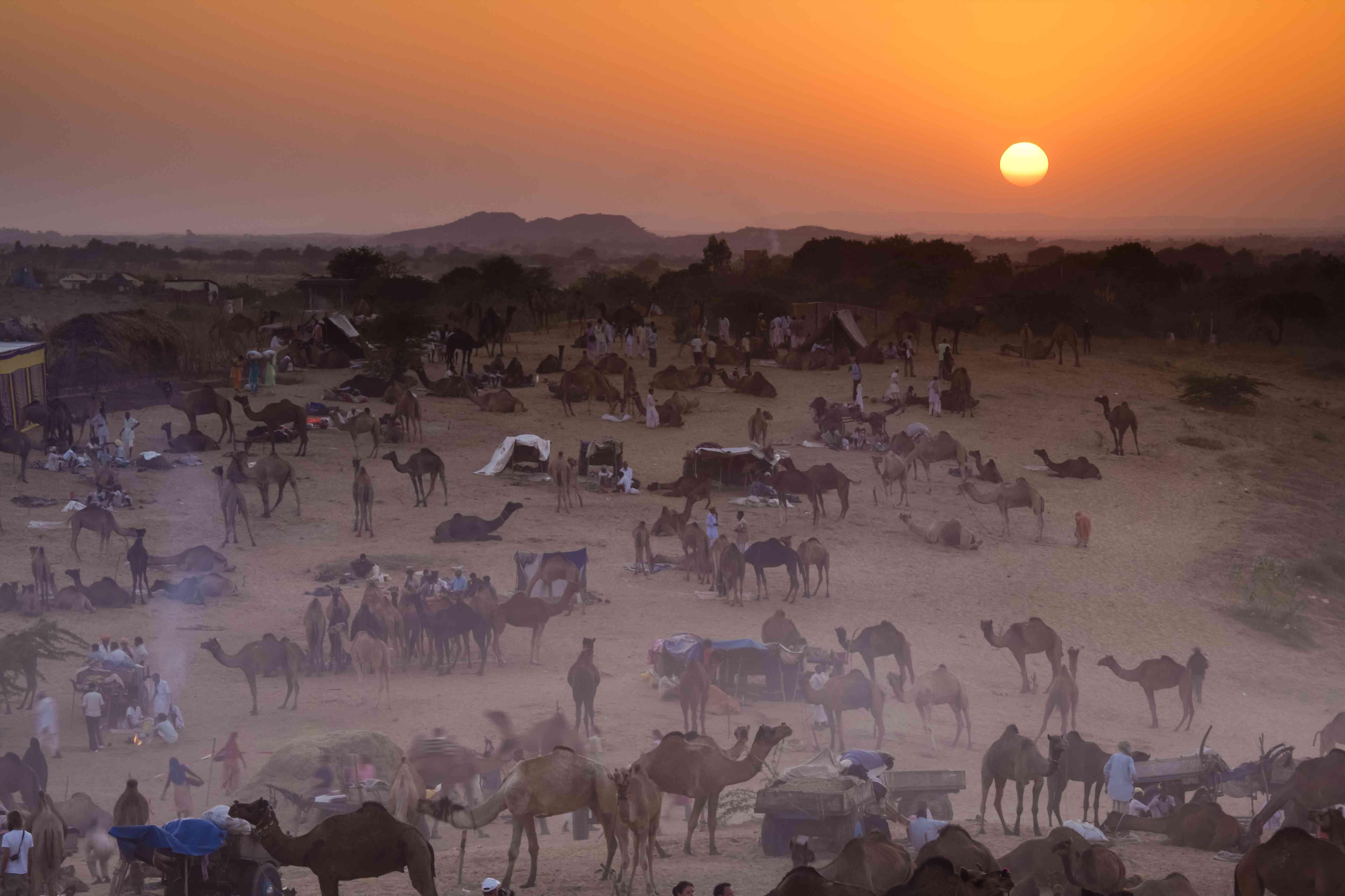 Camels in the desert at sunset for the Pushkar Camel Fair