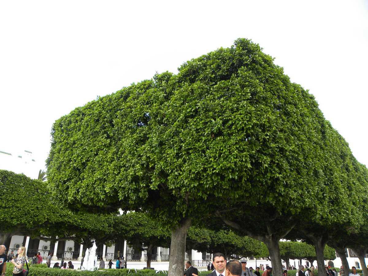 Trimmed Trees near the Medina of Tunis
