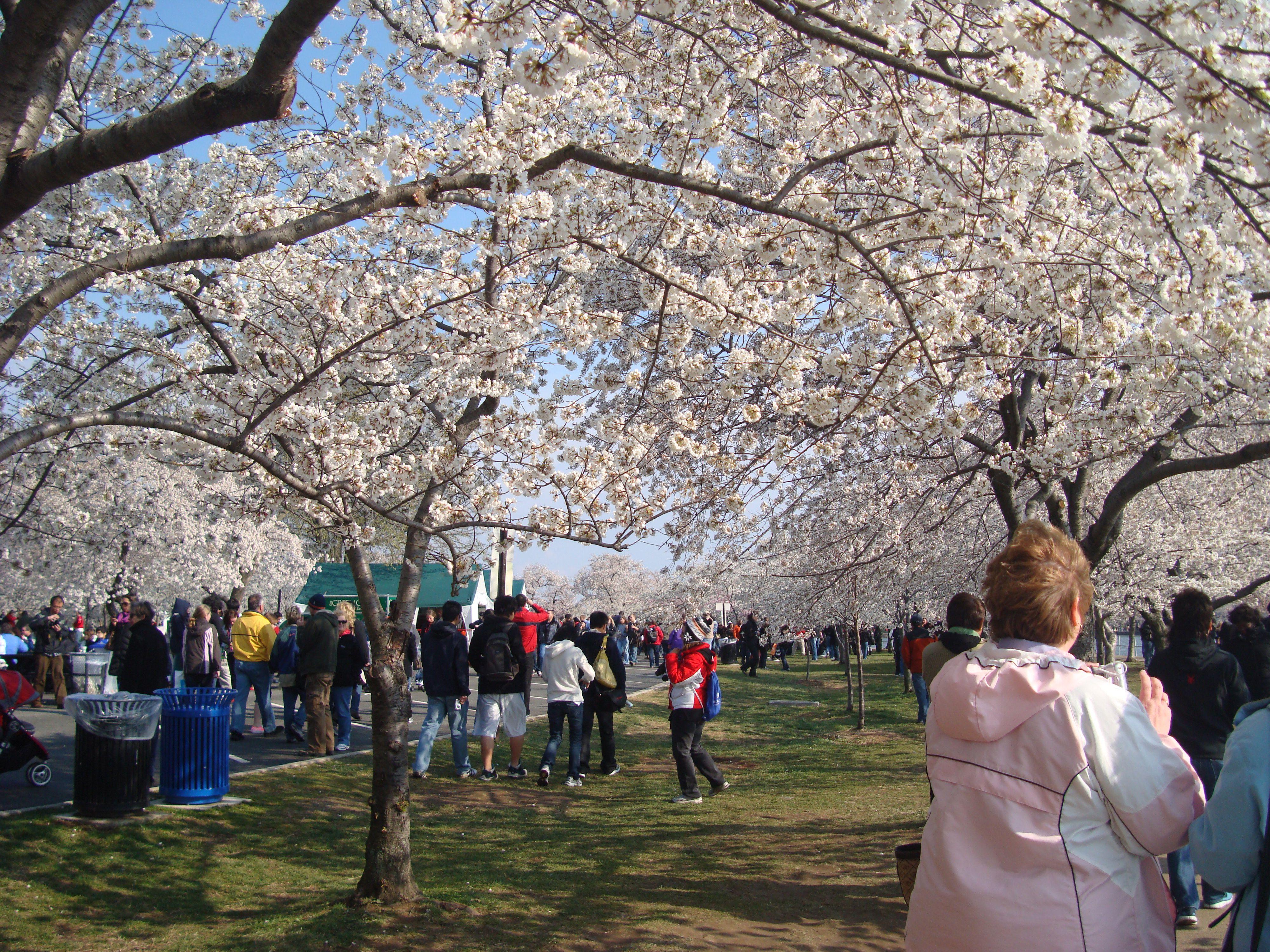 cherry blossom festival - HD4000×3000