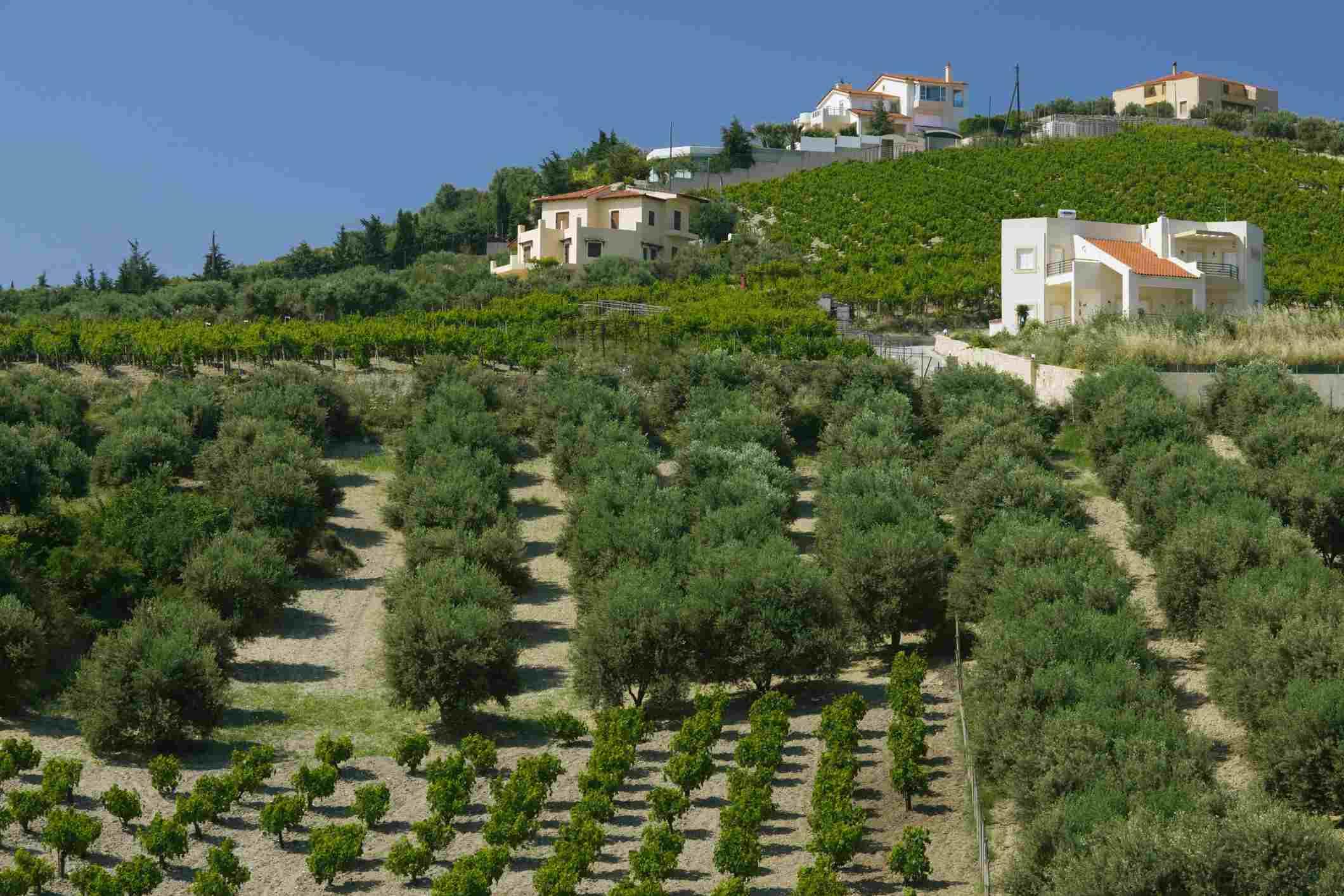 Vineyards, Iraklio Province, Central Iraklio, Pano Archanes, Crete, Greece
