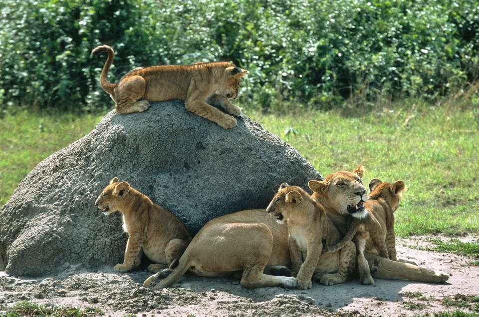 Wild lion pride cub family Queen Elizabeth National Park Uganda