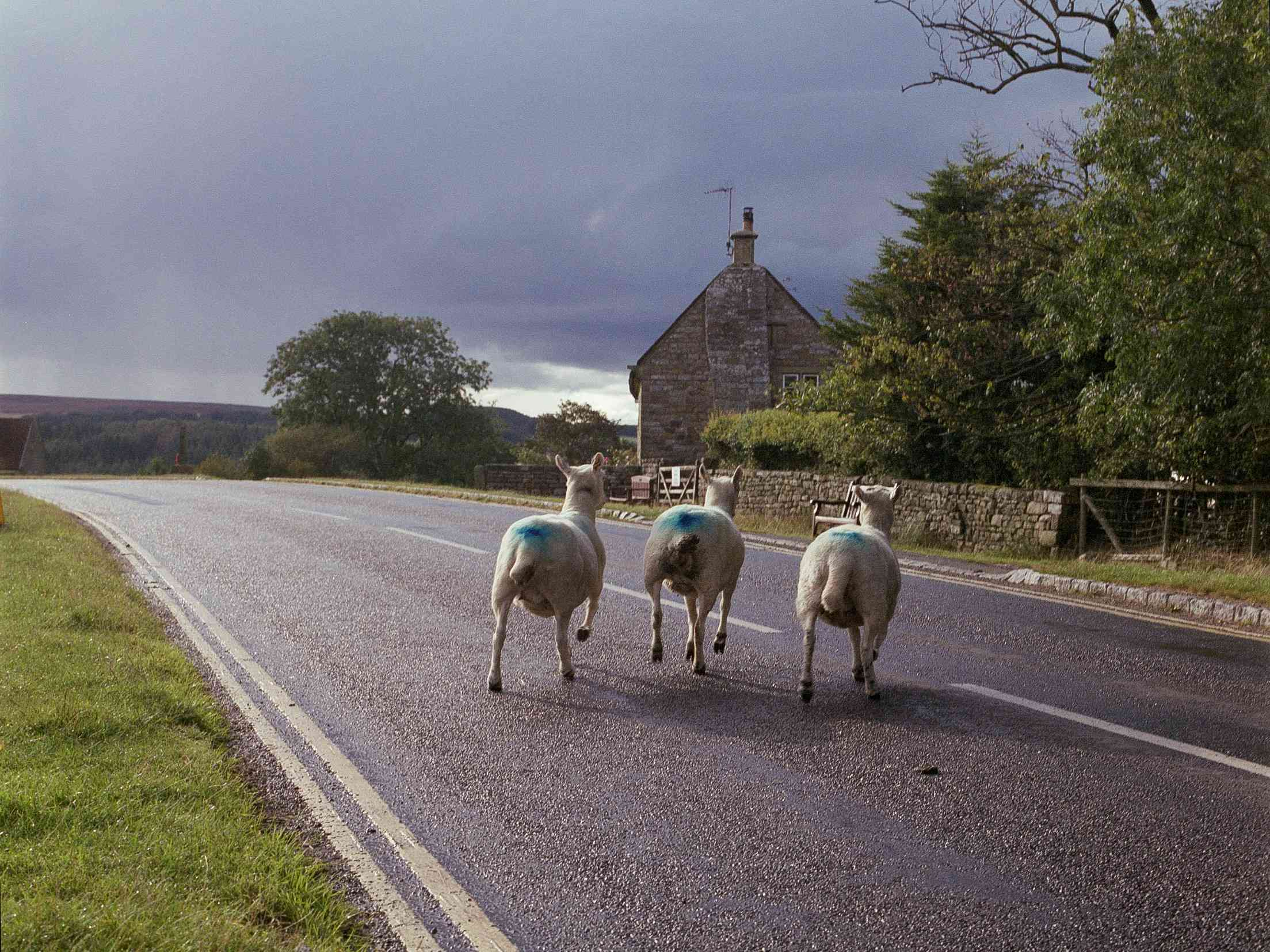 three sheep on the road in the English countryside