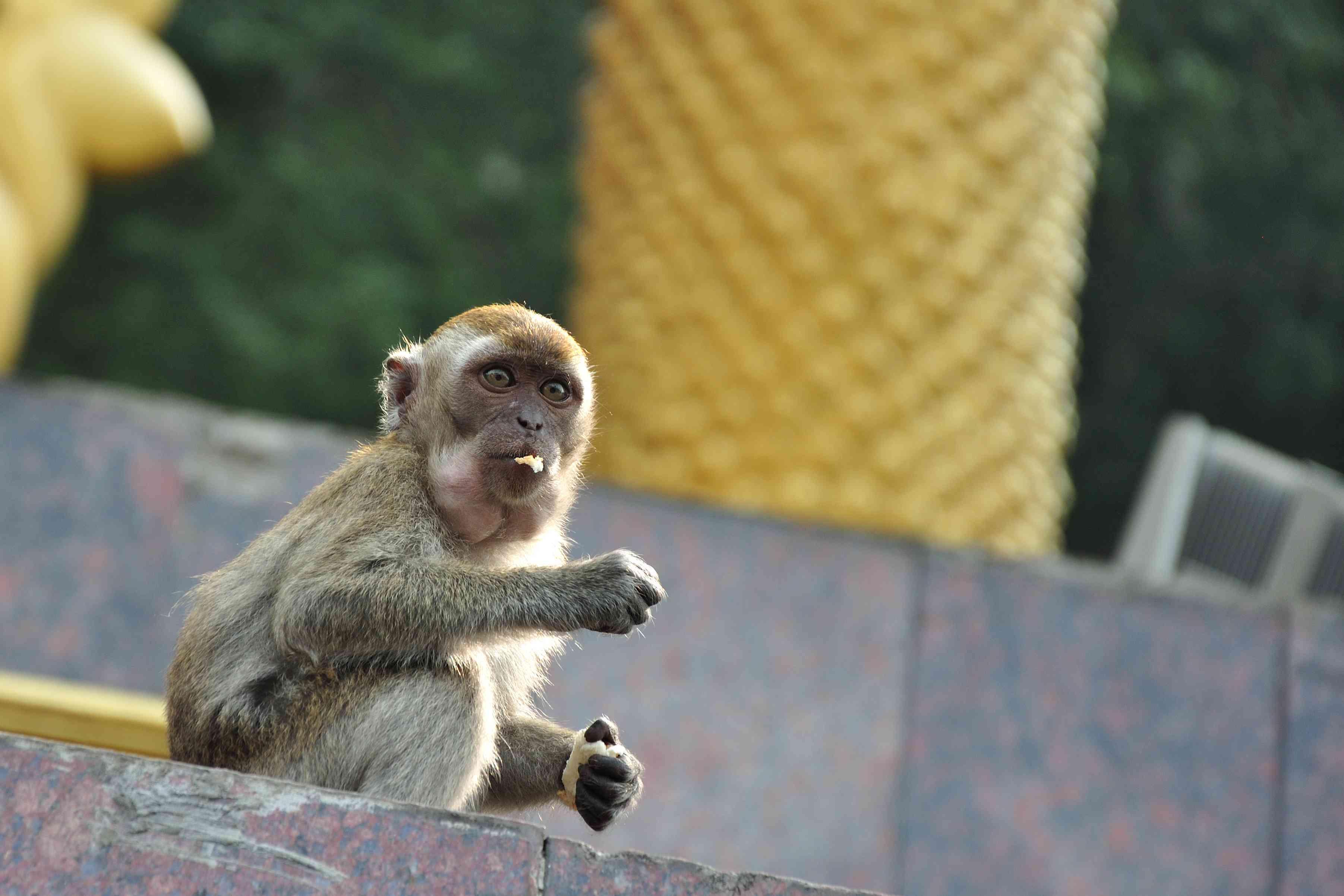 Macaque monkey at the Batu Caves in Kuala Lumpur