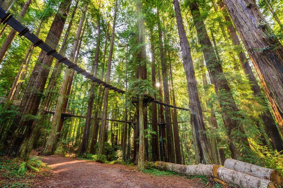 Redwood Sky walk