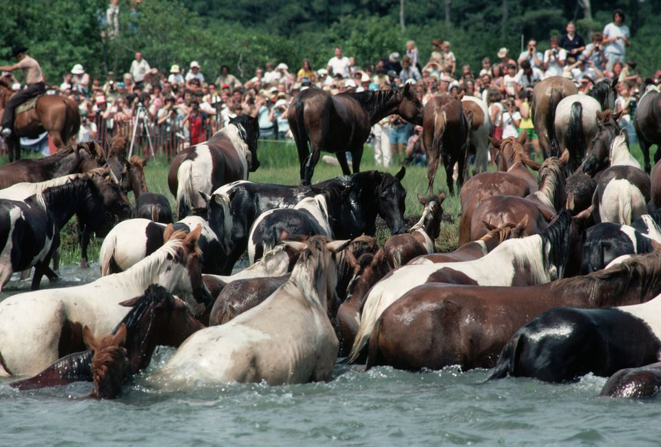 Annual swim of the Chincoteague ponies from Assateague Island