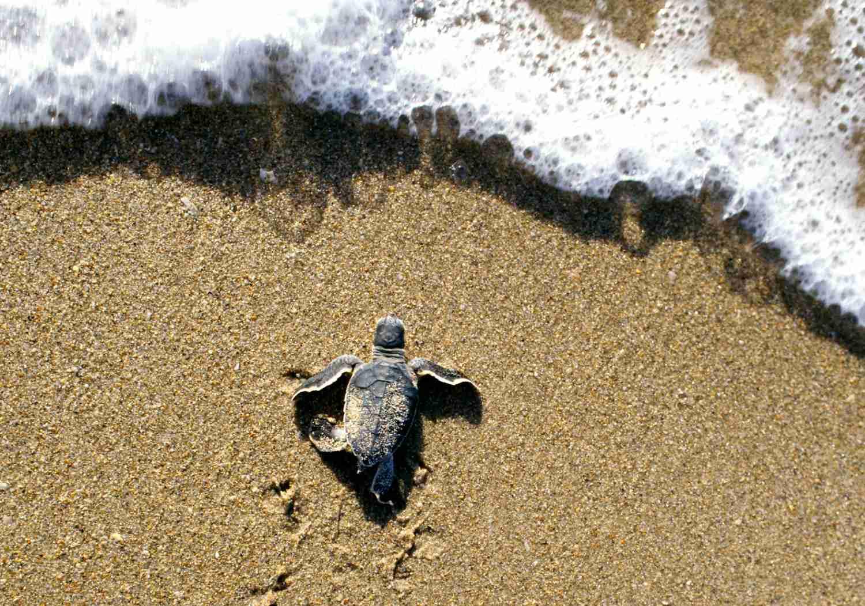 Una tortuga marina recién nacida se dirige hacia las olas