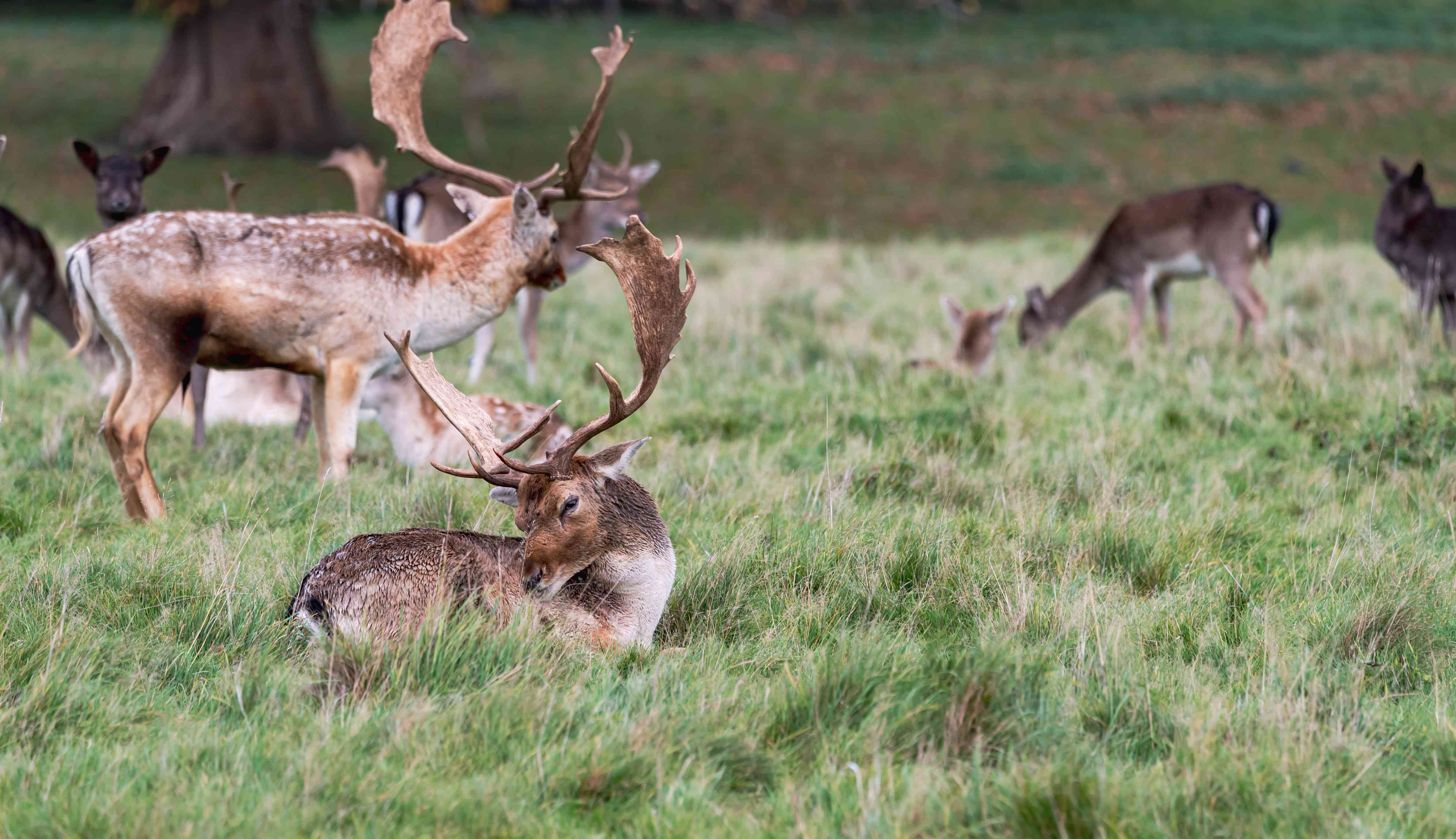 Deer in the woods at Charlecote Park, Warwickshire